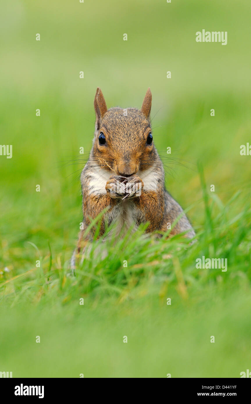 Eastern Grey Squirrel (Sciurus carolinensis) sat on haunches in grass, Oxfordshire, England, September - Stock Image