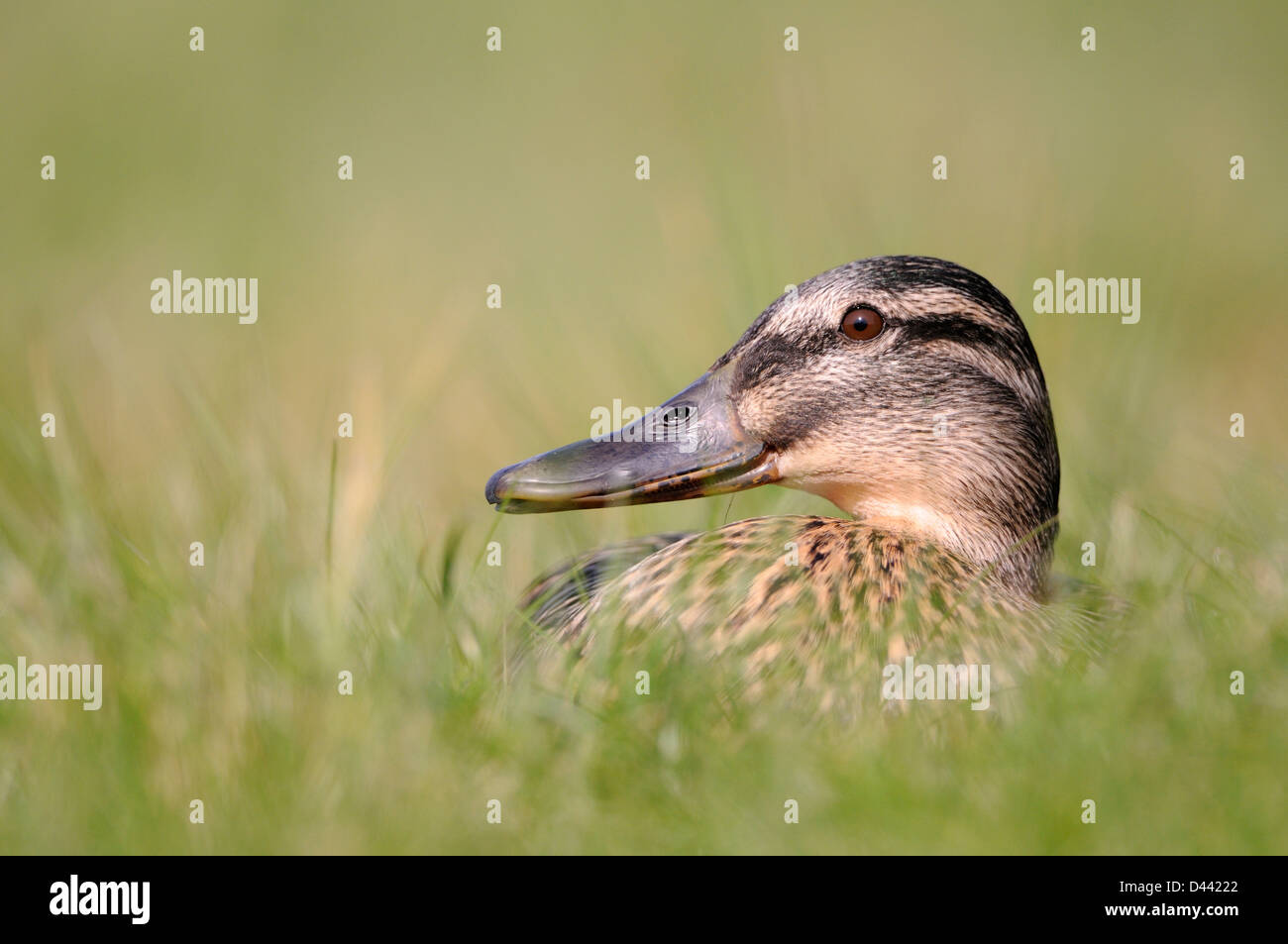 Mallard (Anas platyrhynchos) female lying in long grass, Oxfordshire, UK, March - Stock Image