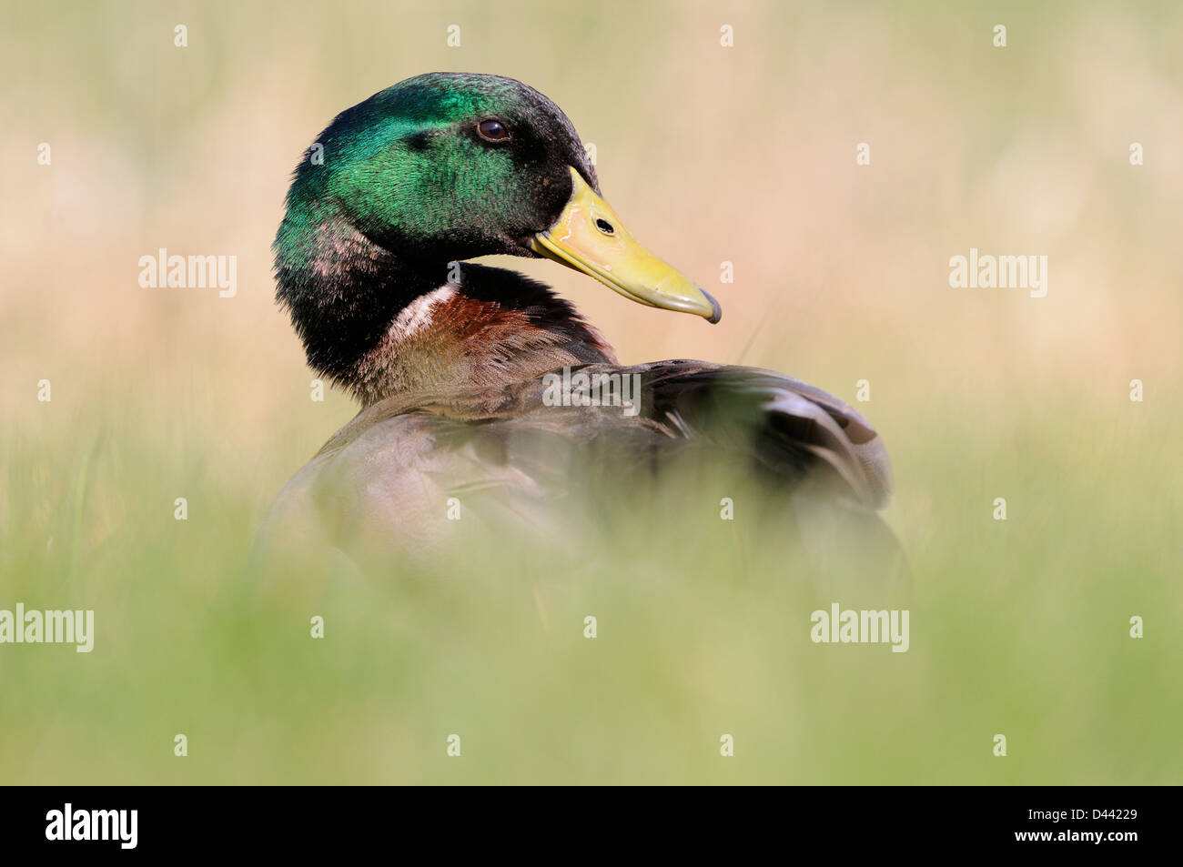 Mallard (Anas platyrhynchos) male in long grass, Oxfordshire, England, March - Stock Image