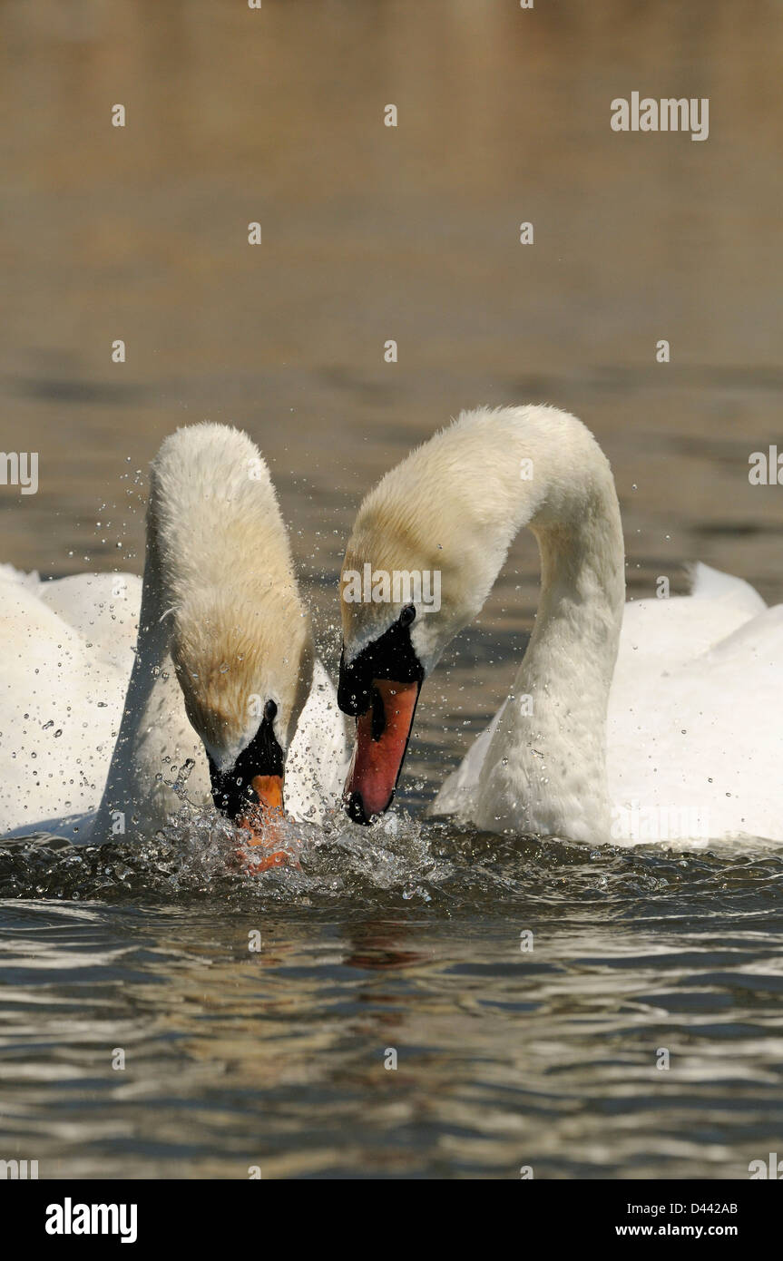 Mute Swan (Cygnus olor) pair dipping heads in water in unison, courtship display, Oxfordshire, England, May Stock Photo