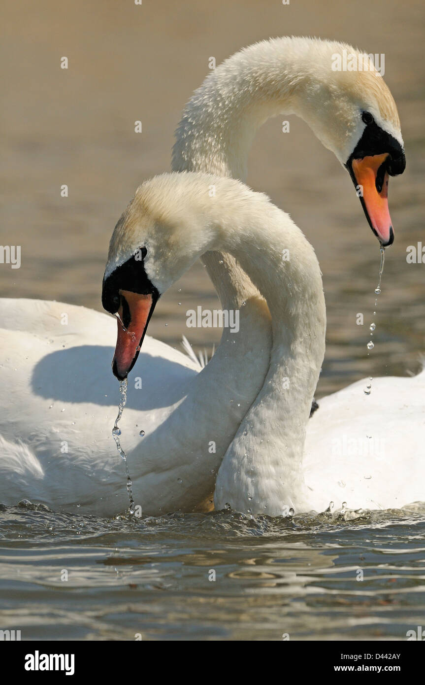 Mute Swan (Cygnus olor) breeding pair, with necks entwined, courtship display, Oxfordshire, England, May Stock Photo