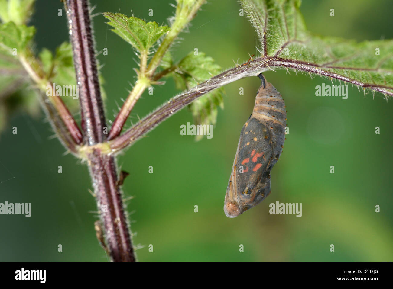 Painted Lady Butterfly (Vanessa cardui) pupa hanging from stinging nettle leaf, about to hatch, Oxfordshire, England, - Stock Image