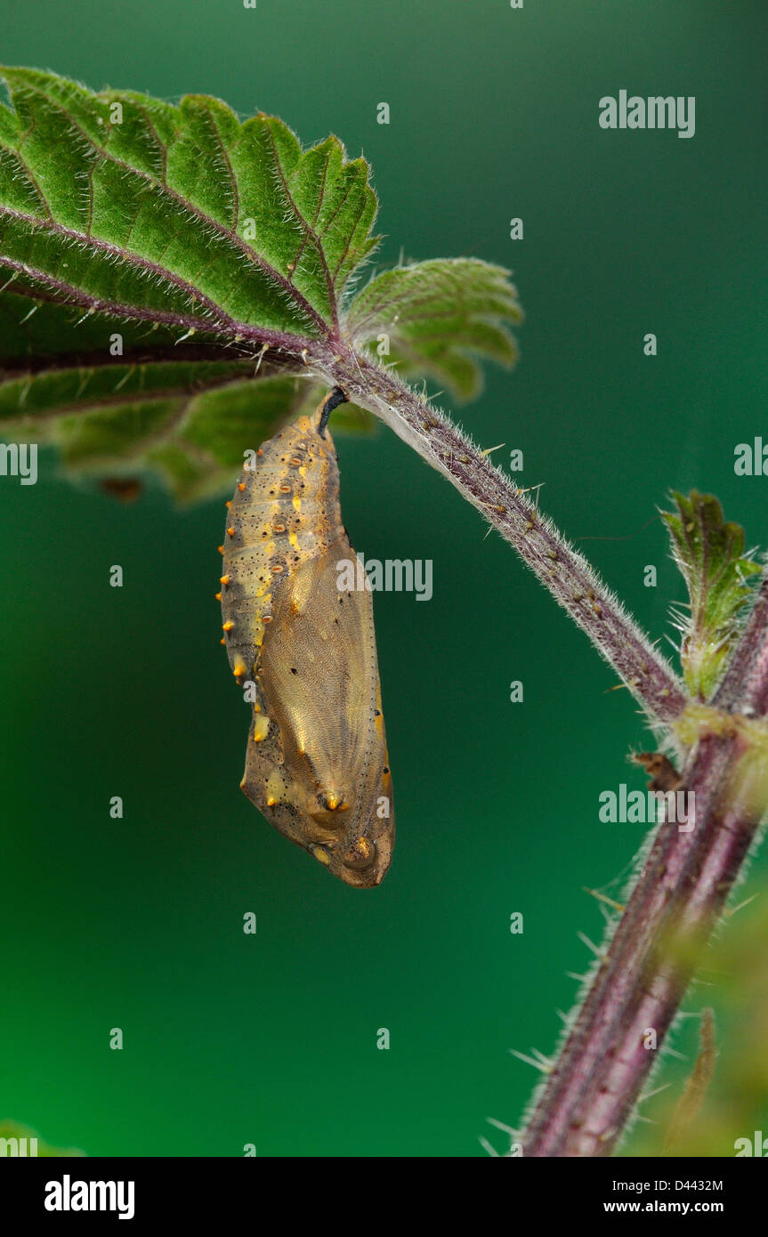 Painted Lady Butterfly (Vanessa cardui) pupa hanging from stinging nettle leaf, Oxfordshire, England, July - Stock Image