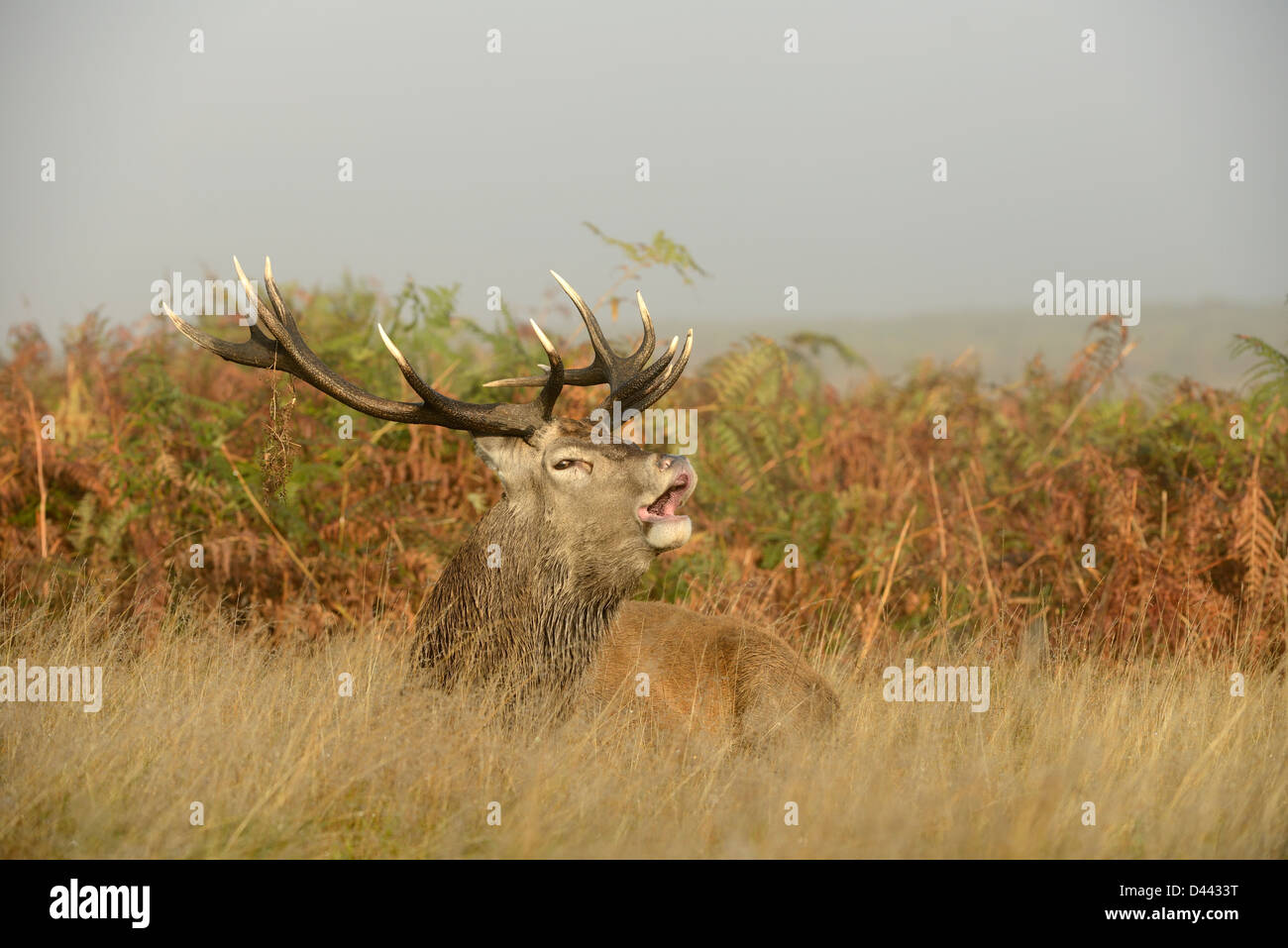 Red Deer (Cervus elaphus) stag sitting in long grass roaring, Richmond Park, England, October - Stock Image