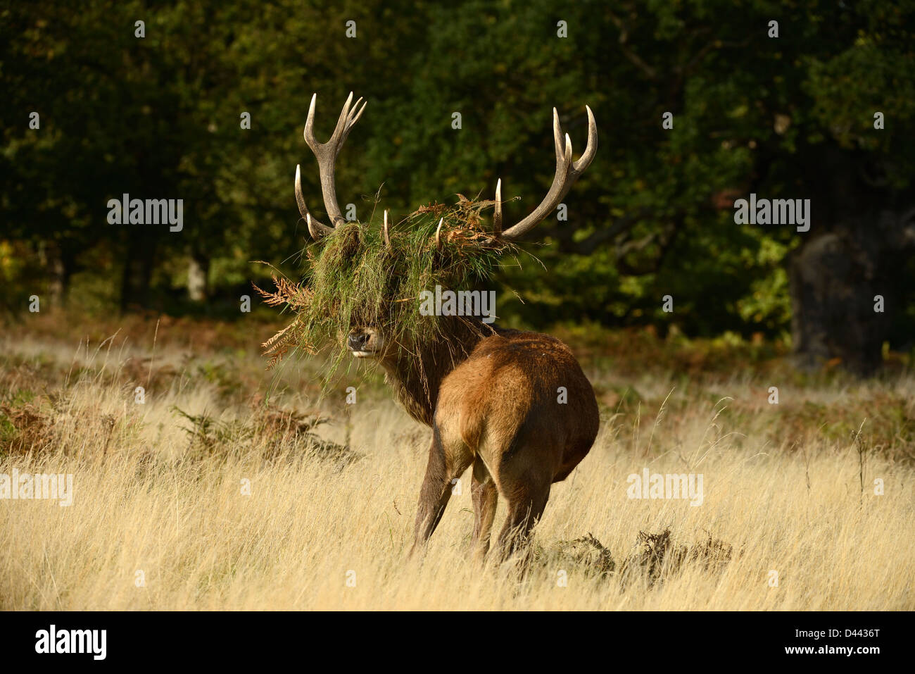 Red Deer (Cervus elaphus) stag with head covered in grass and bracken, Richmond Park, England, October - Stock Image