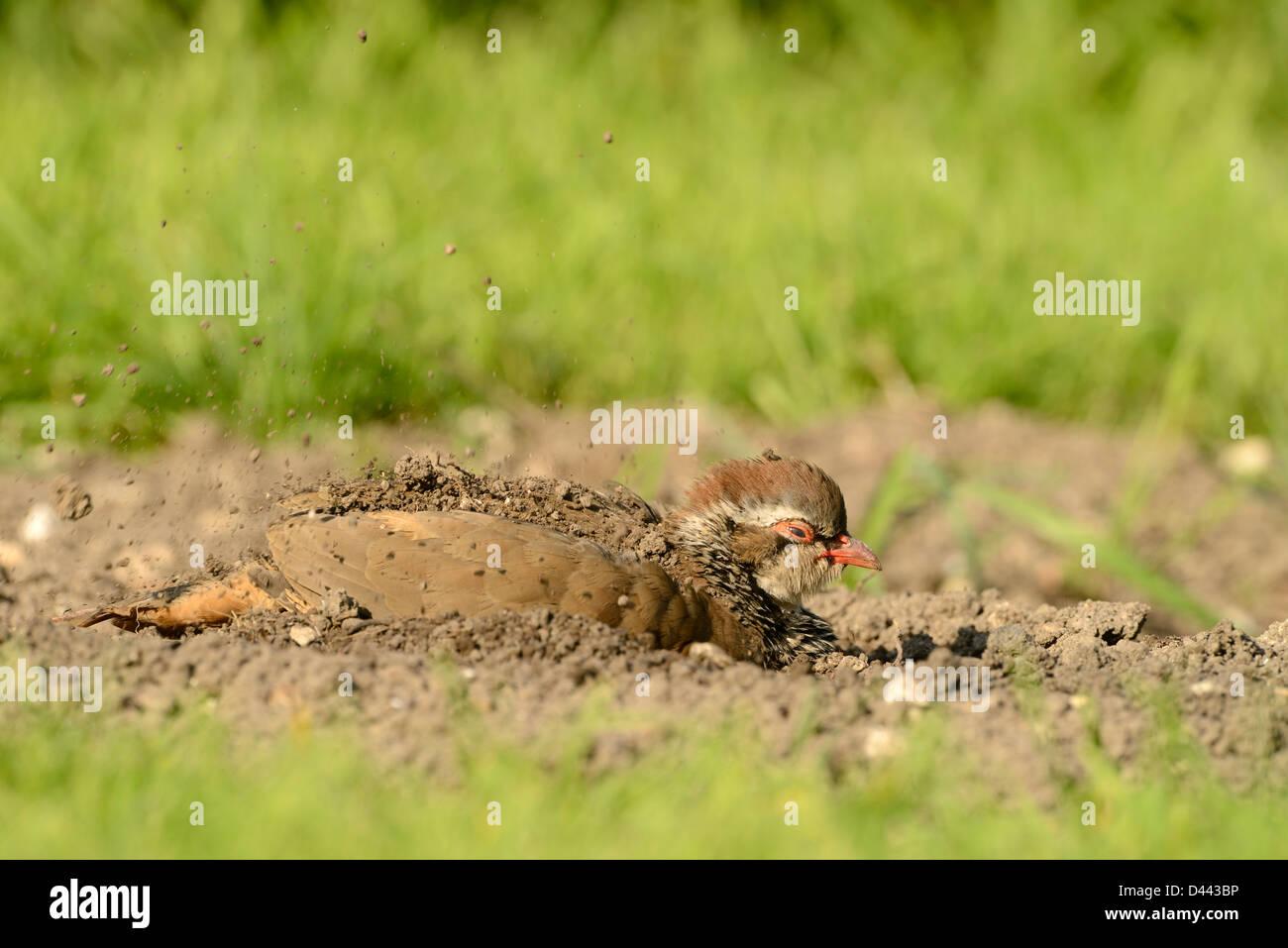 Red-legged Partridge (Alectoris rufa) sat on ground, dust bathing, Oxfordshire, England, September - Stock Image