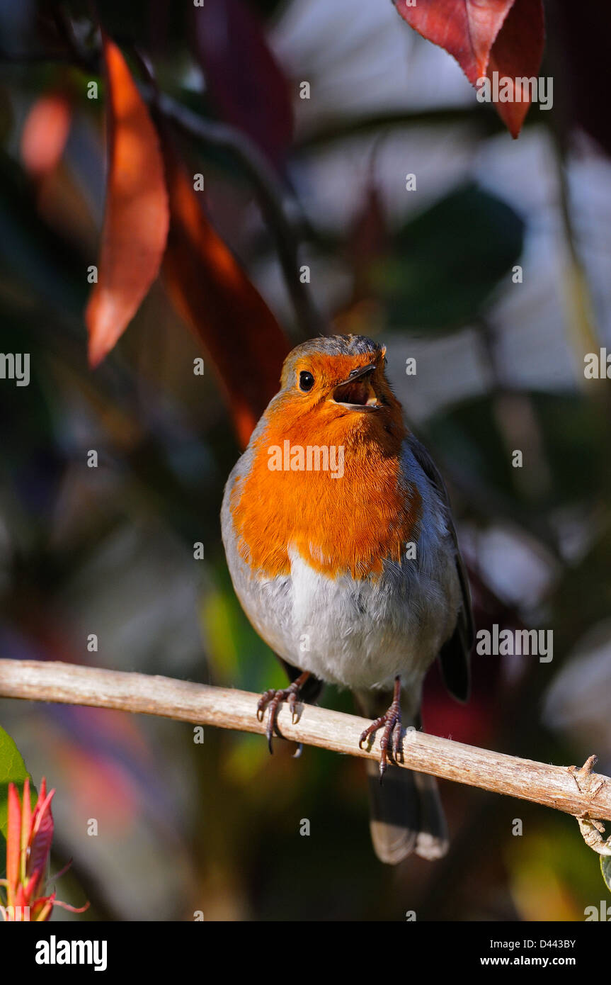 European Robin (Erithacus rubecula) sat on branch singing, Oxfordshire, England, March - Stock Image