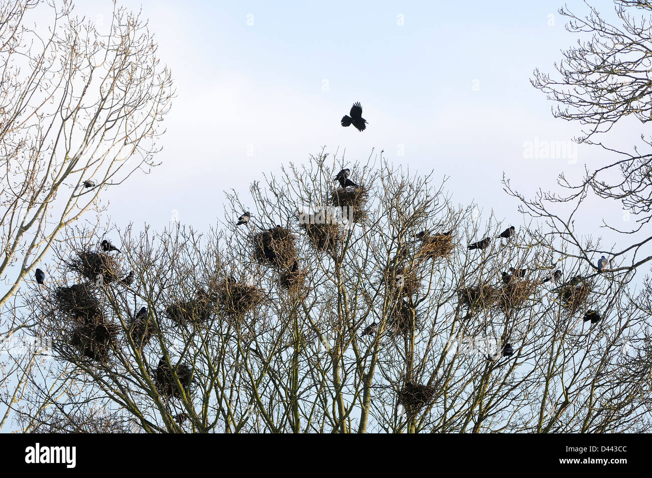 Rook (Corvus frugilegus) in flight over rookery, Oxfordshire, England, March - Stock Image
