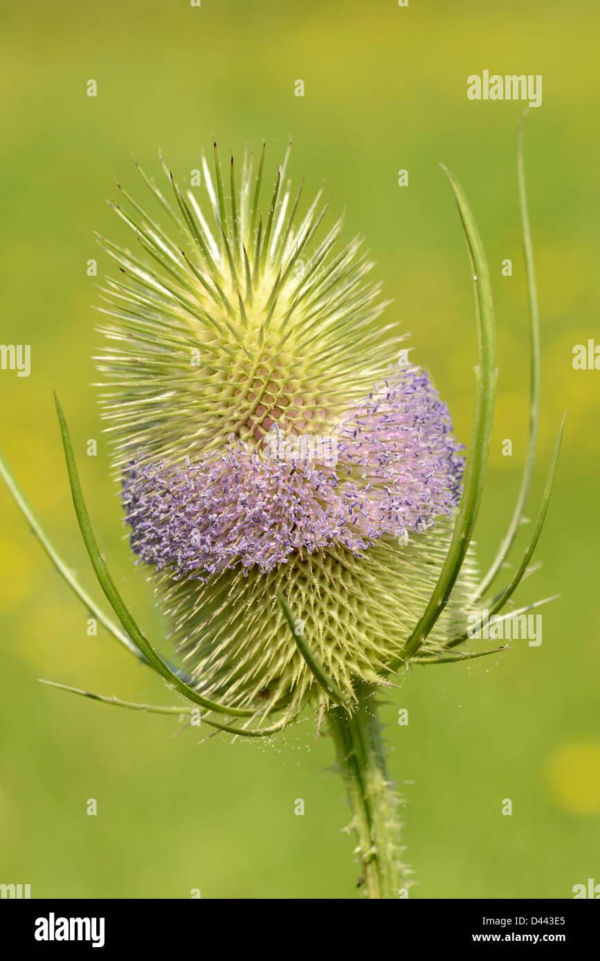 Wild Teasel (Dipsacus silvestris) close-up of flower, Oxfordshire, England, July - Stock Image