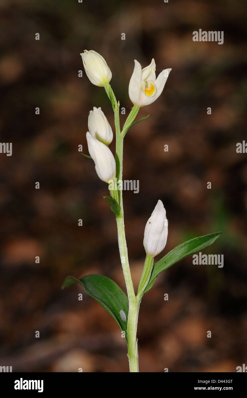 White Helleborine (Cephalanthera damasonium) flower spike, Oxfordshire, England, May - Stock Image
