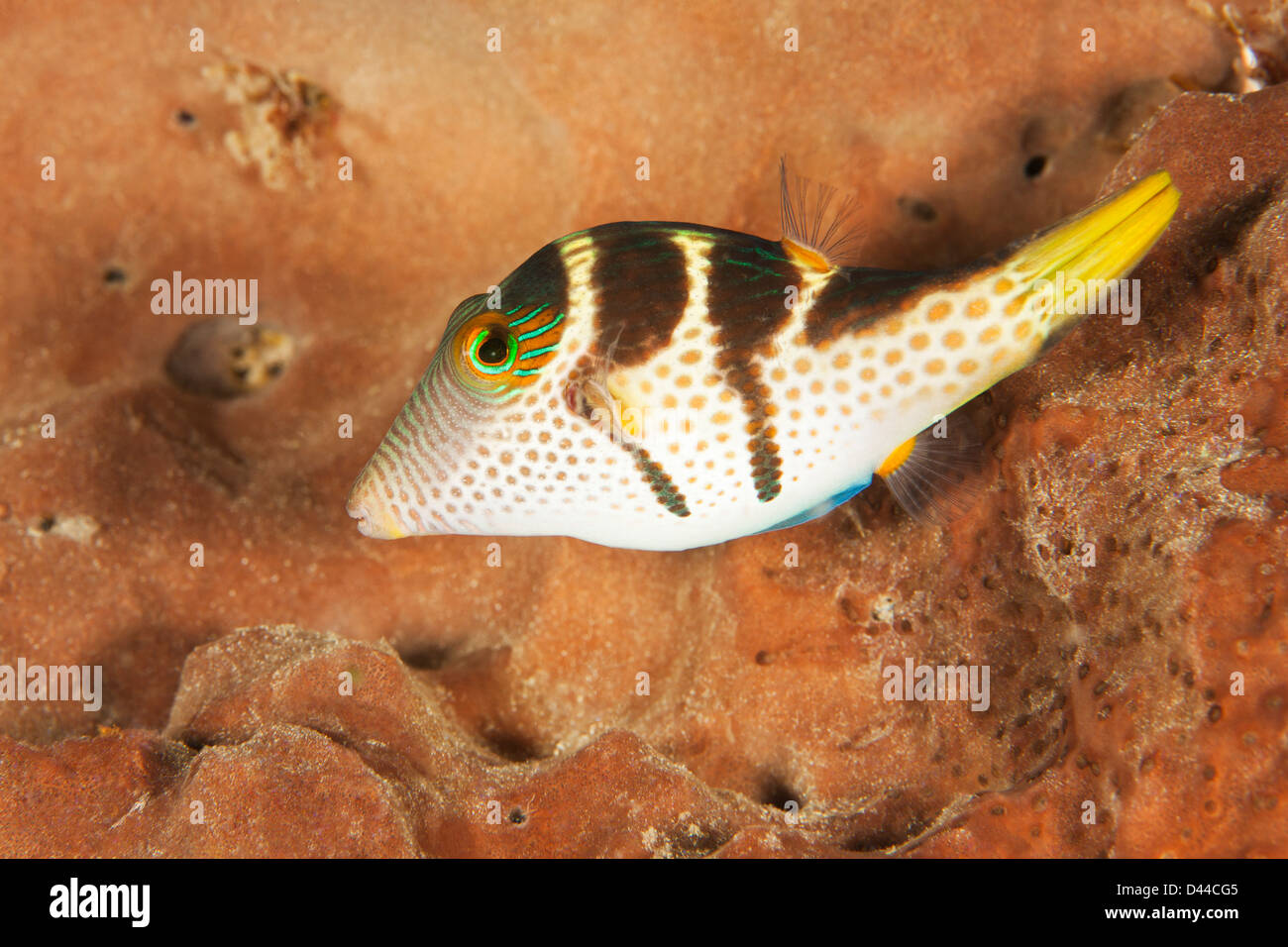 Black-saddled Toby (Canthigaster valentini) on a tropical coral reef in Bali, Indonesia. Stock Photo
