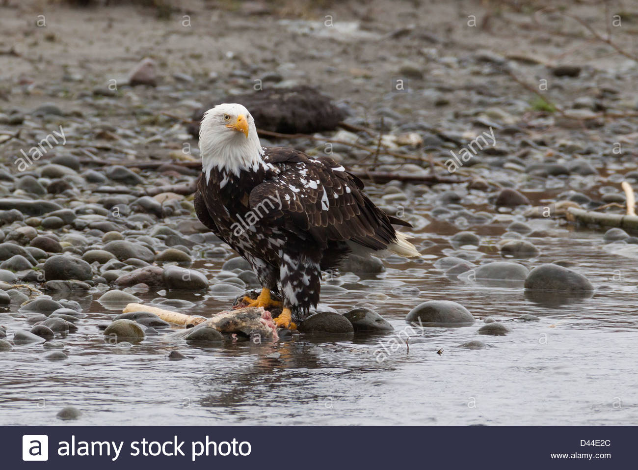 An adult bald eagle (Haliaeetus leucocephalus) with a rare pigment disorder known as Leucism feeds in Whatcom County, - Stock Image