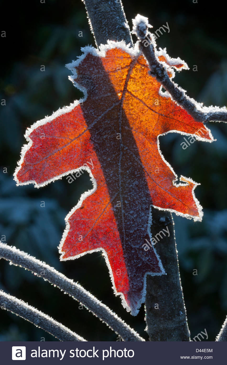 A red oak leaf, lined by hoar frost, is backlit by the winter sun. - Stock Image