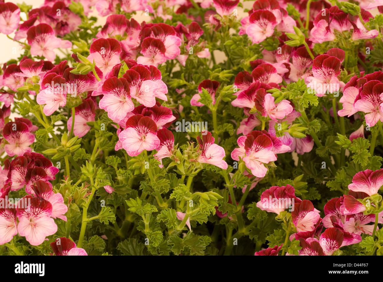 Pelargonium mini grandiflorum 'Tiptop Duet', gerani, Geraniaceae - Stock Image