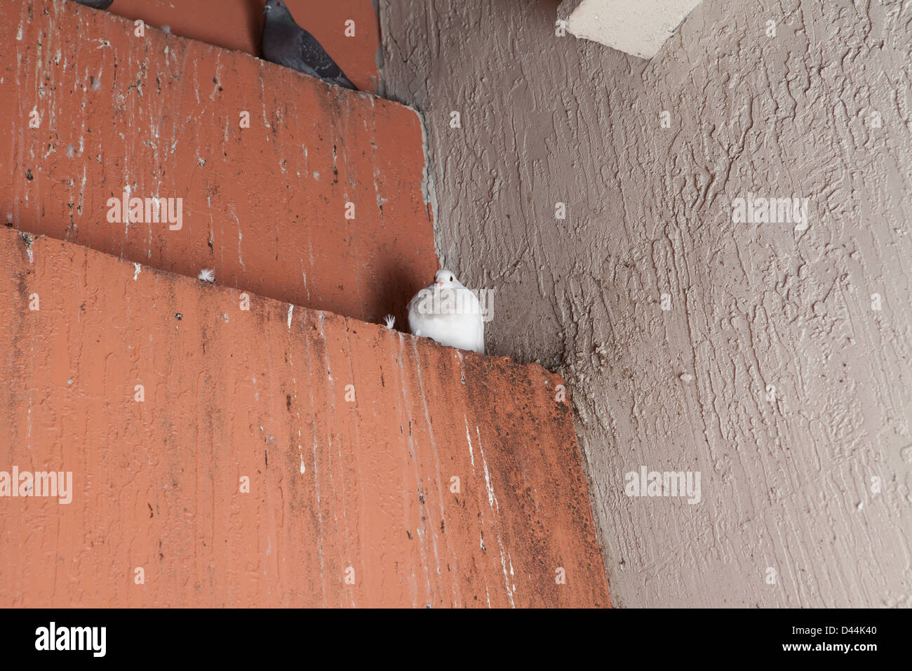 pigeon nest - Stock Image