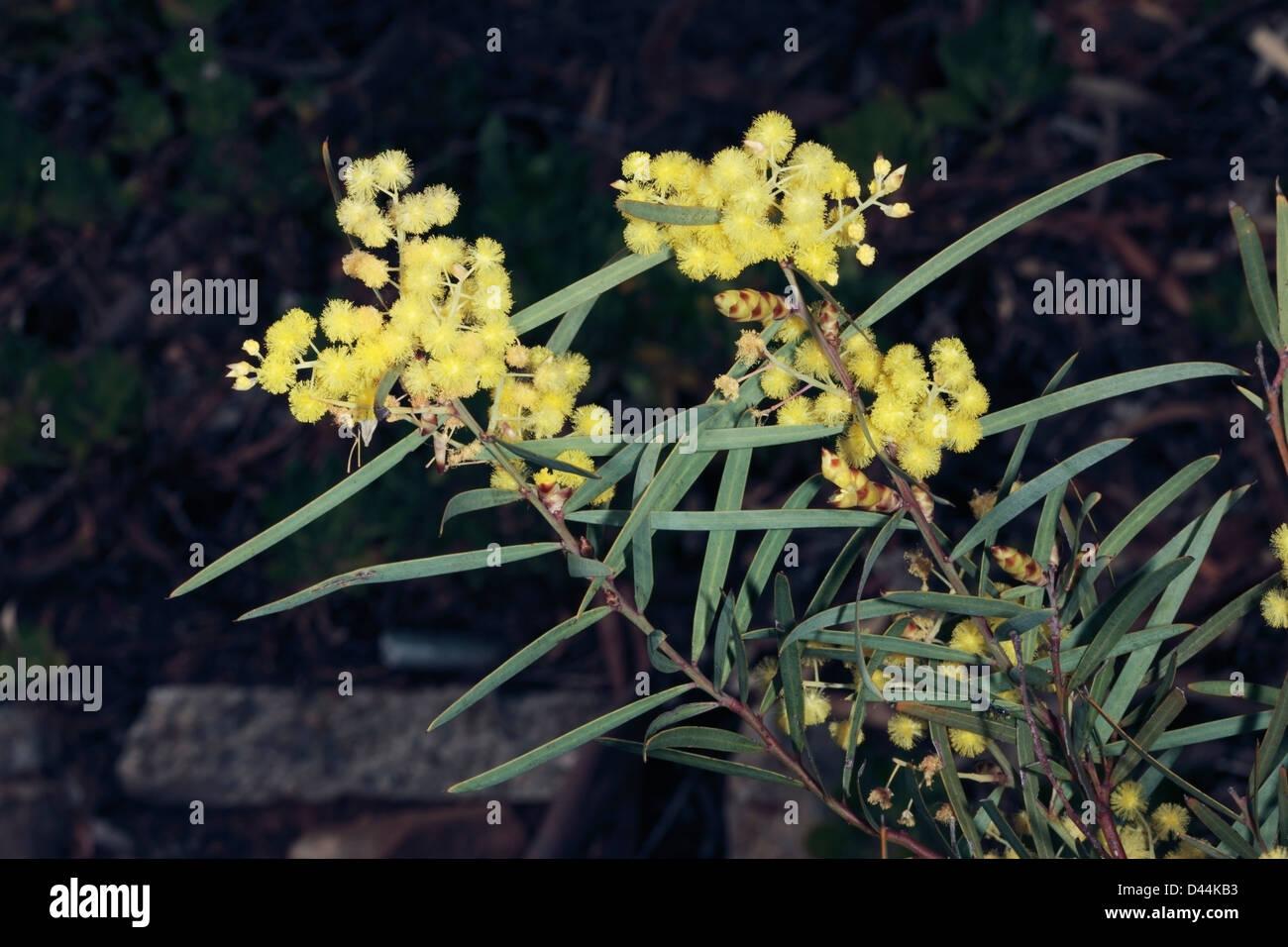 Acacia Iteaphyllaracosperma Iteaphyllum Flinders Range Wattle