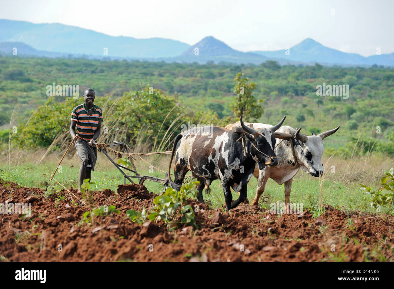 ANGOLA Kwanza Sul, food crops like maize corn or cassava, farming in village near Waku Kungo Stock Photo