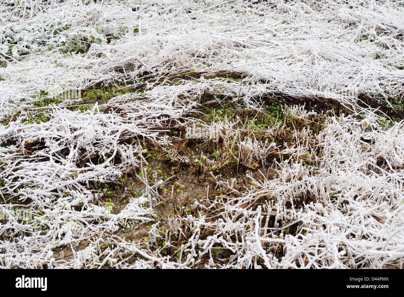 A wet flush in a frozen field, warmer than its surroundings, forms an ecological niche, Wales. - Stock Image