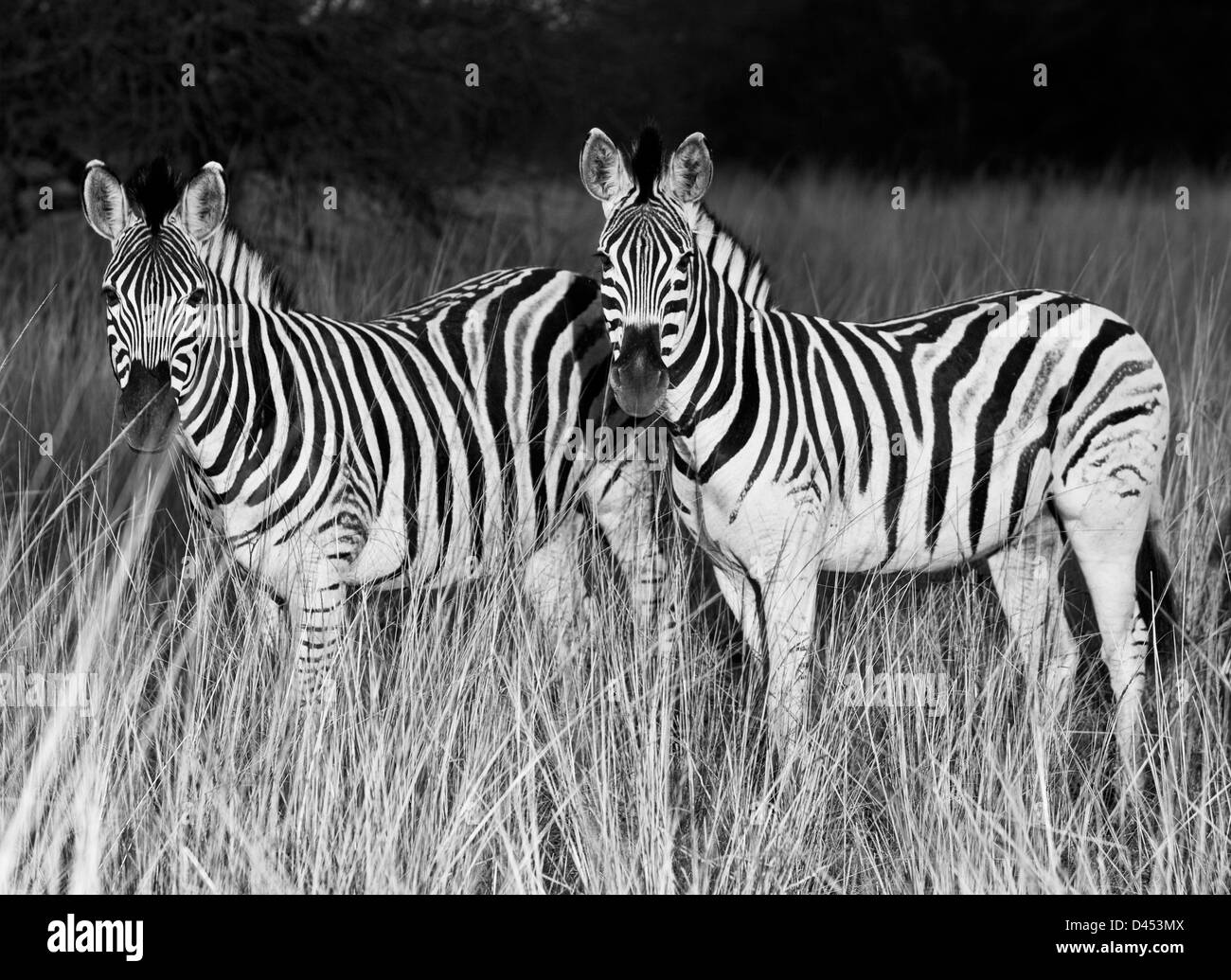 Two Plains Zebras stand in grassland, Phinda Game Reserve, South Africa Stock Photo