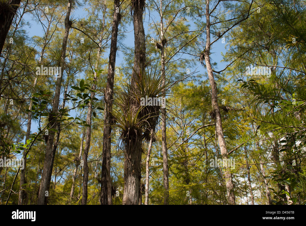 Canopy of a cypress dome in the Big Cypress Swamp of Florida Stock Photo