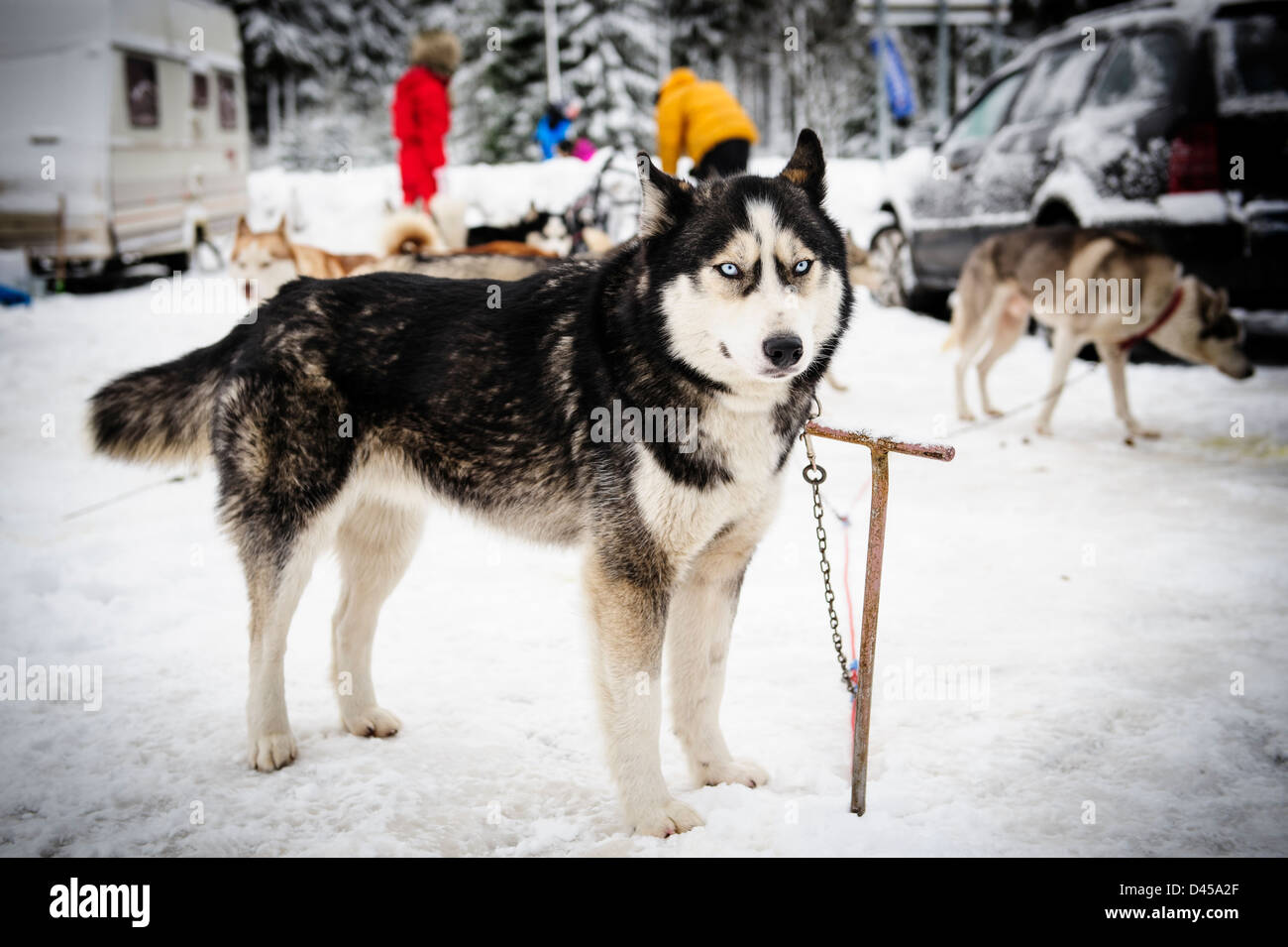 A husky sled dog before racing in the Sled dog competition of the Husqvarna Border Rush race in Jakuszyce, Poland. - Stock Image