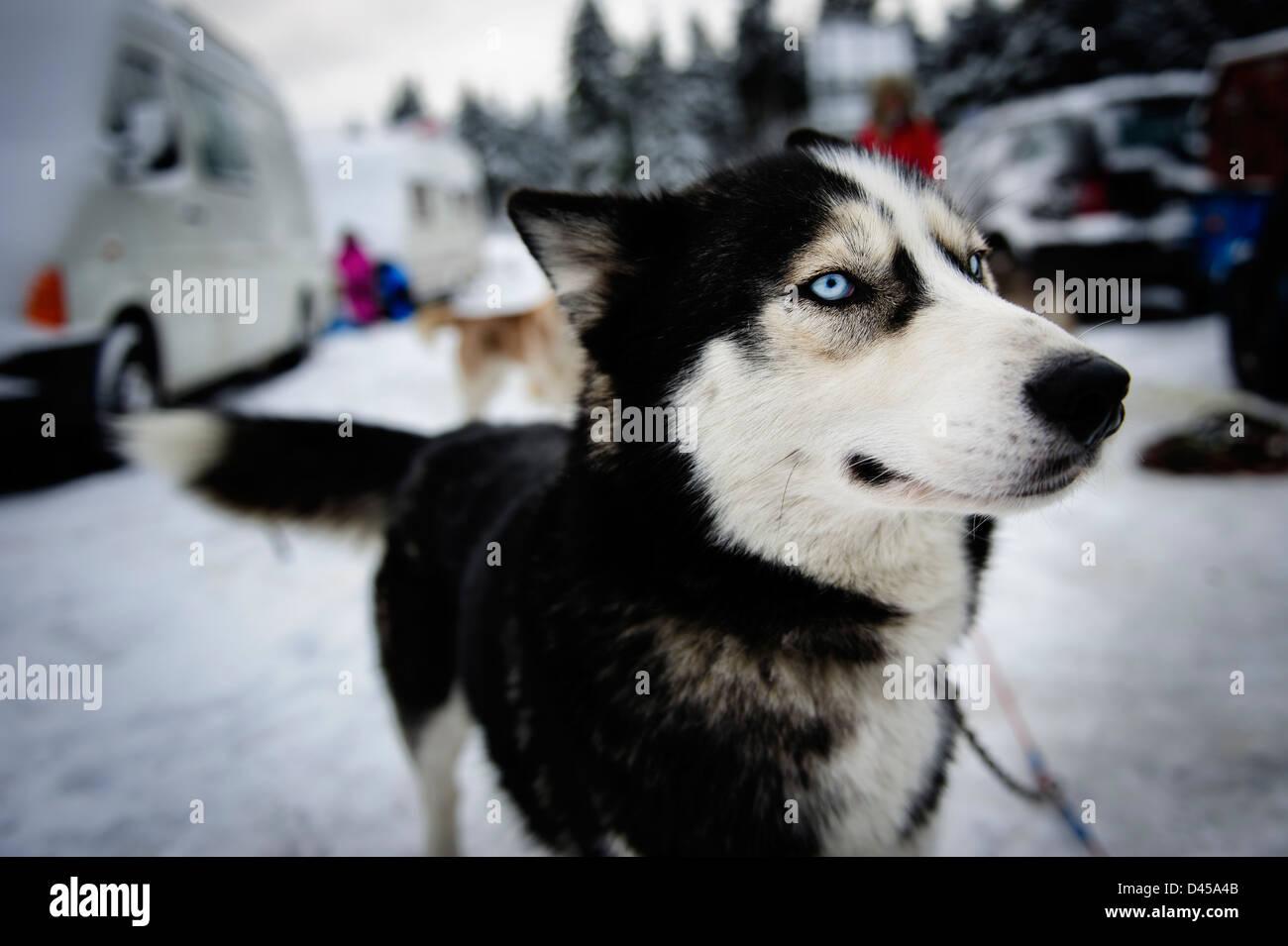 A husky Sled dog, Jakuszyce, Poland. - Stock Image