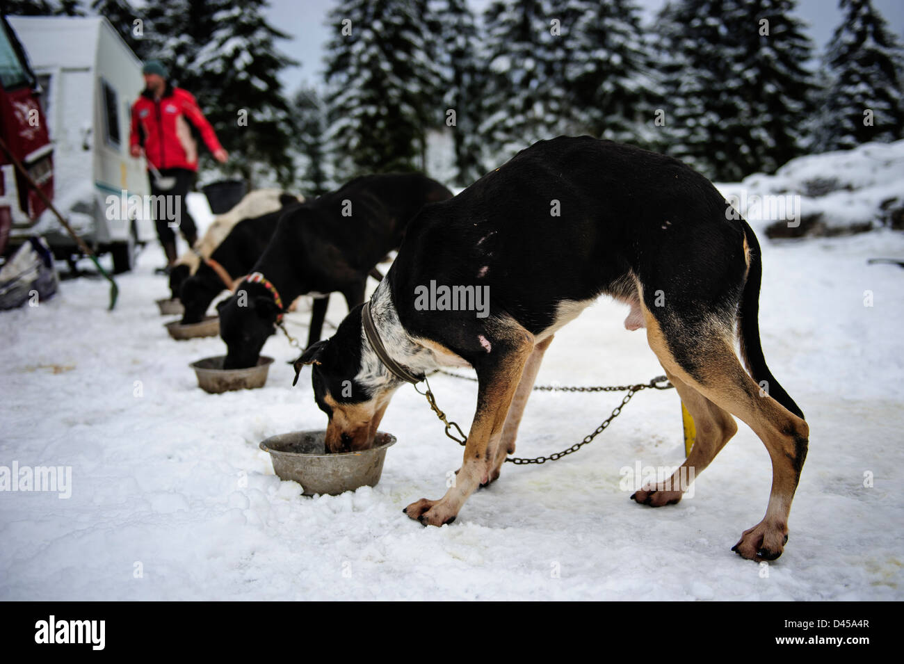 Sled dogs eating before the Border Rush competition in Jakuszyce, Poland. - Stock Image