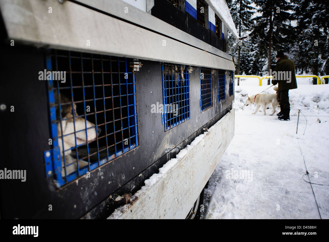 A husky sled dog kept in a cage before racing. Jakuszyce, Poland. - Stock Image