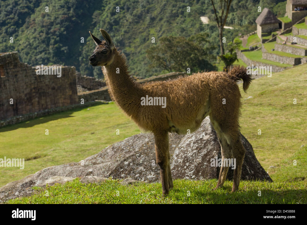 Llama (Lama glama) in the ruins of Machu Picchu, Aguas Calientes, Peru Stock Photo
