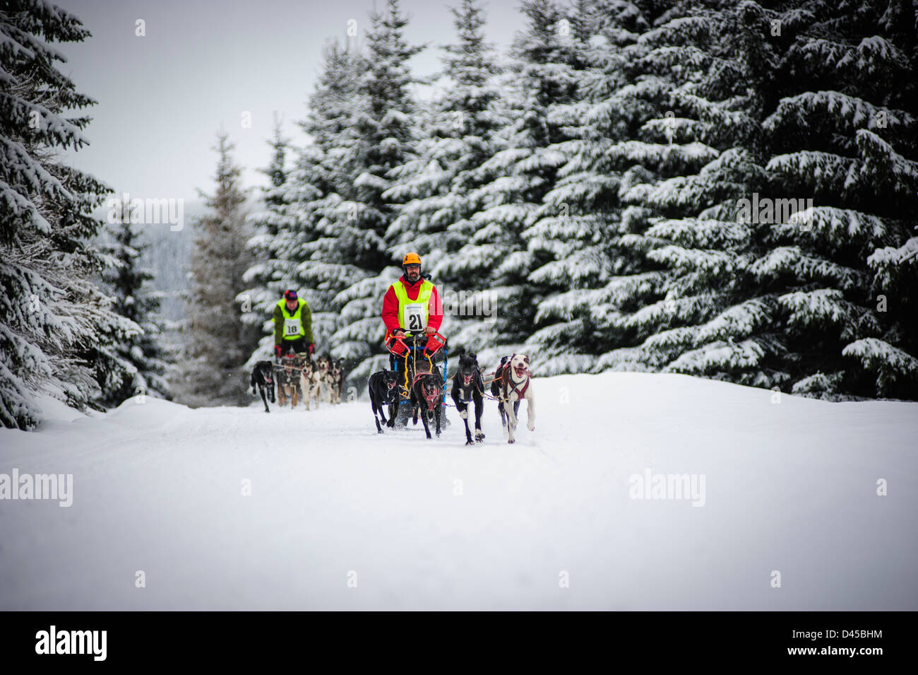 A sled dog team racing at the Husqvarna Tour Border Rush competition in Jakuszyce, Poland. - Stock Image