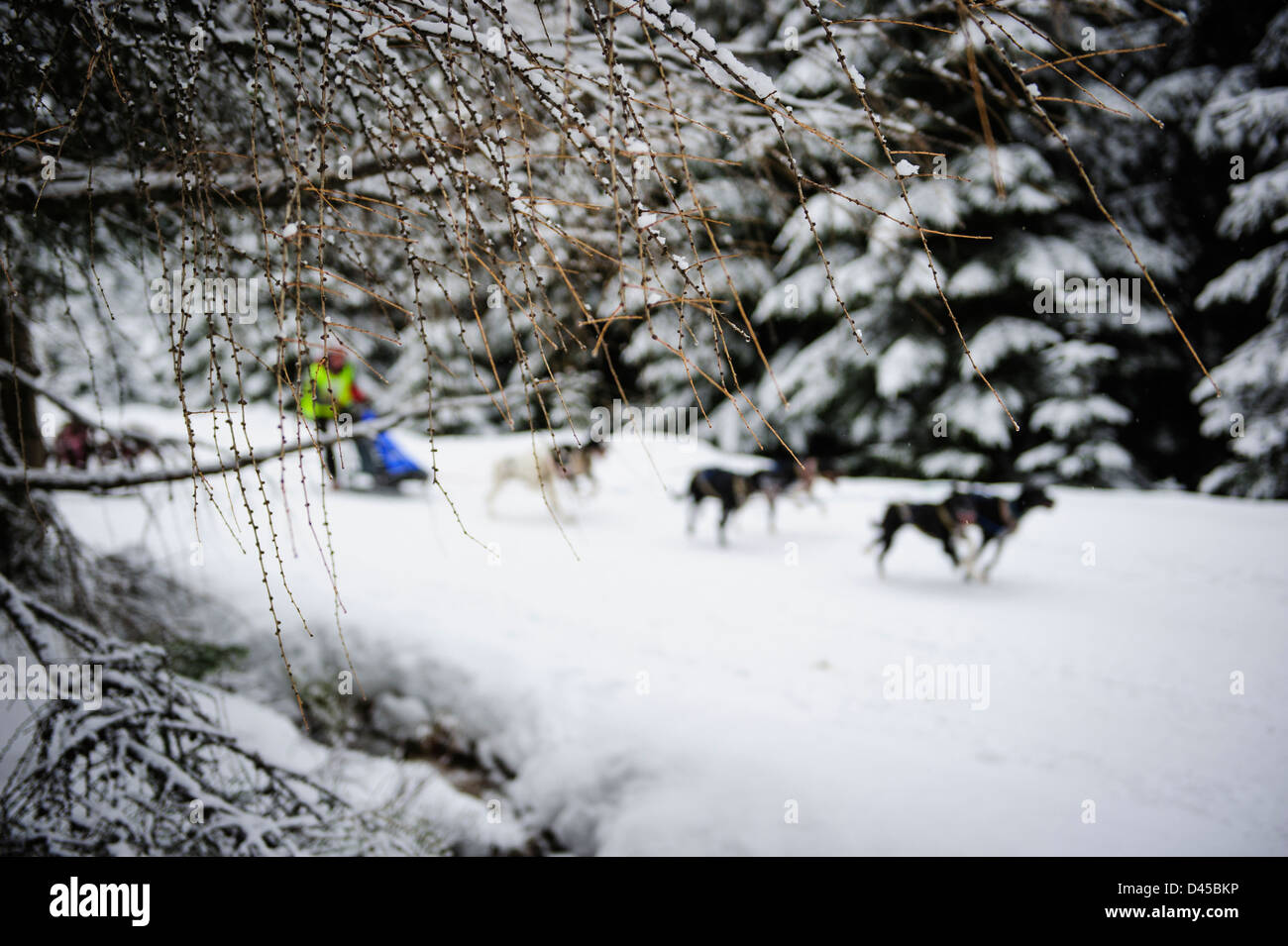 A sled dog team racing at the Husqvarna Tour Border Rush competition in Jakuszyce, Poland. Stock Photo