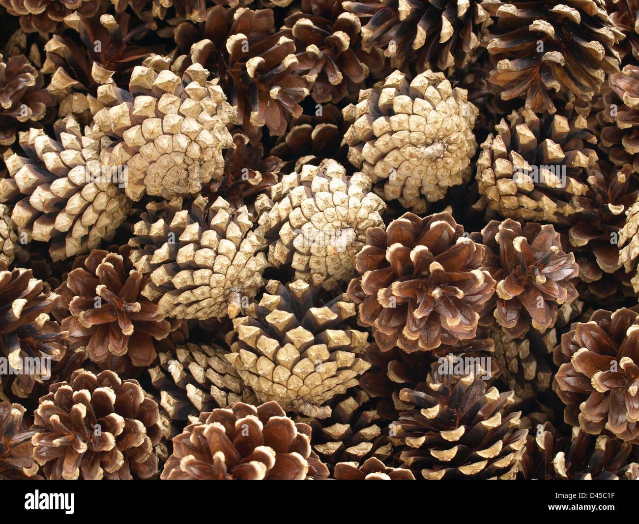 cones from Scots pine / Pinus silvestris / Zapfen von Wald-Kiefer - Stock Image