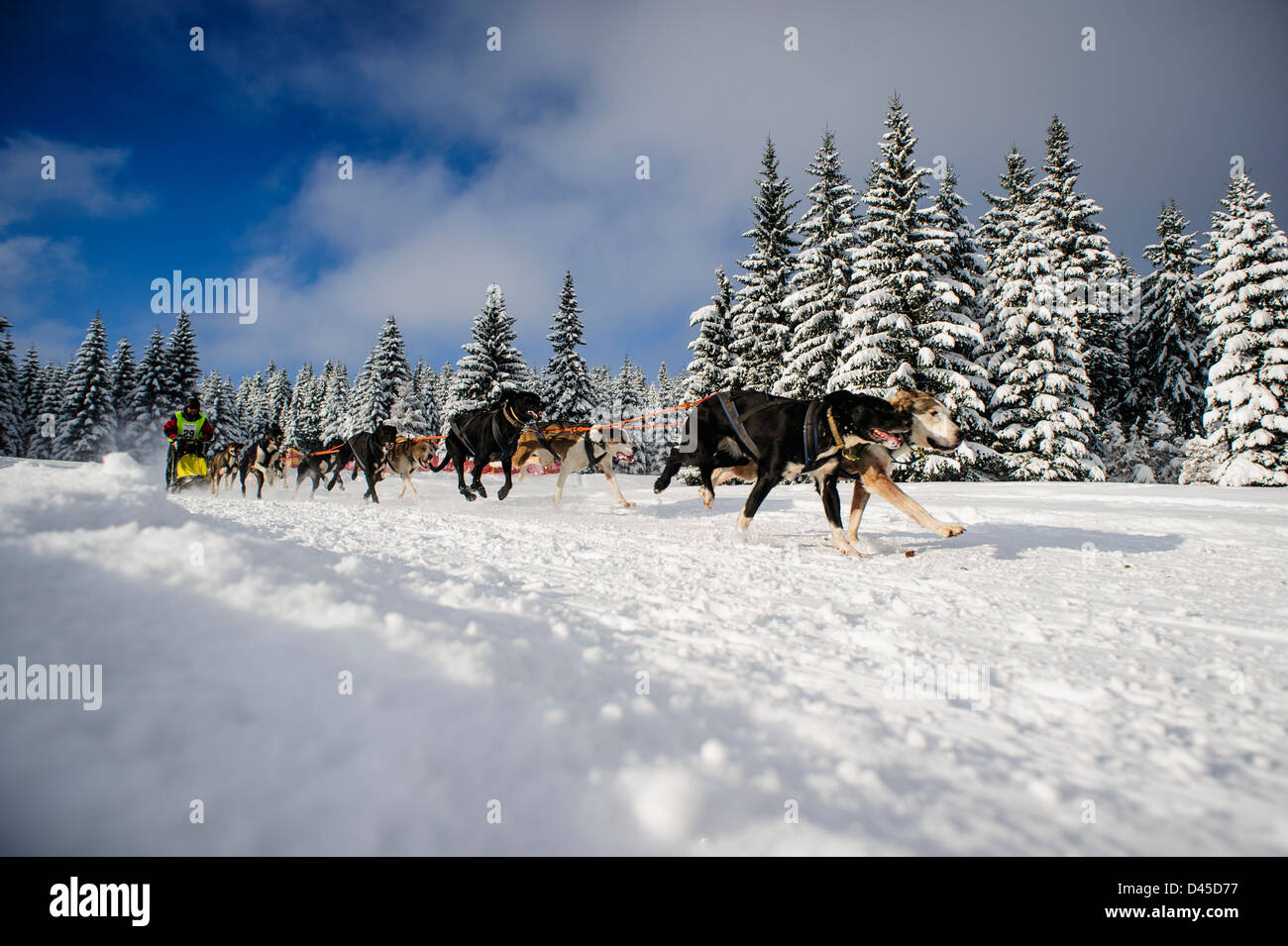 A sled dog team racing in the Izery mountains, Jakuszyce, Poland. - Stock Image