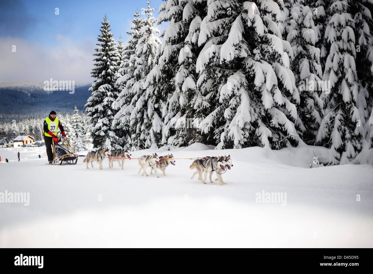 A sled dog participant team racing for the 2013 Border Rush competition in the Izery mountains, Poland. - Stock Image