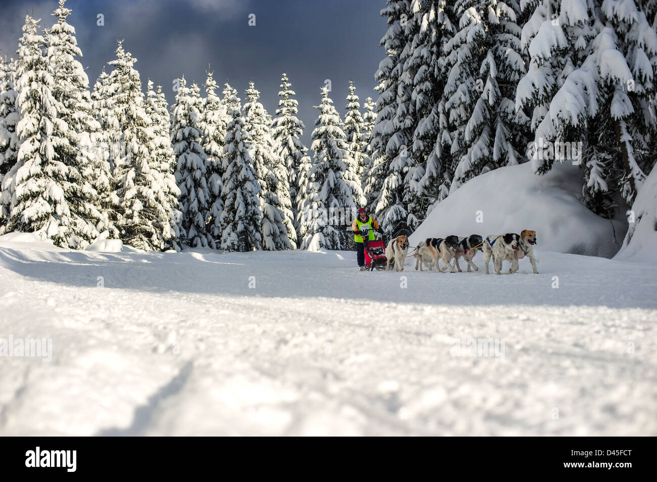 A sled dog team in the Border Rush race in the Izery Mountains, Jakuszyce, Poland. - Stock Image