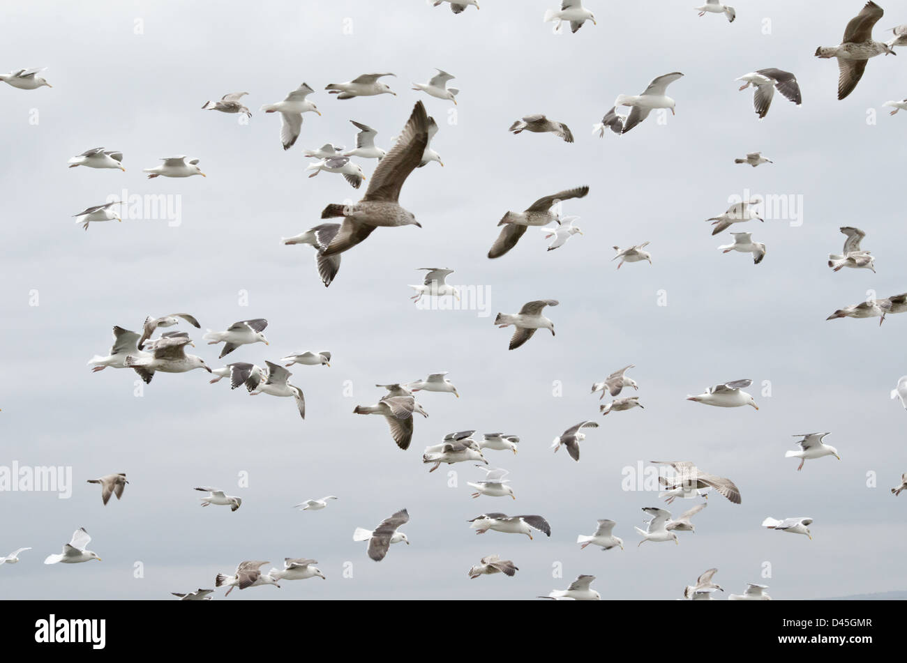 flock of seagulls glide in the wind. - Stock Image