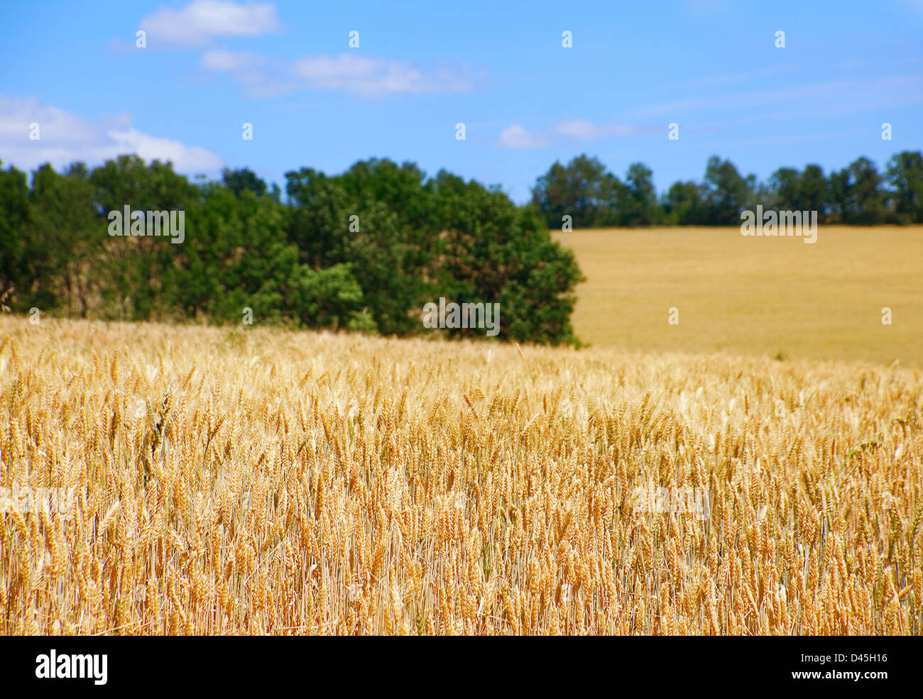 Wheat field landscape with sky - Stock Image