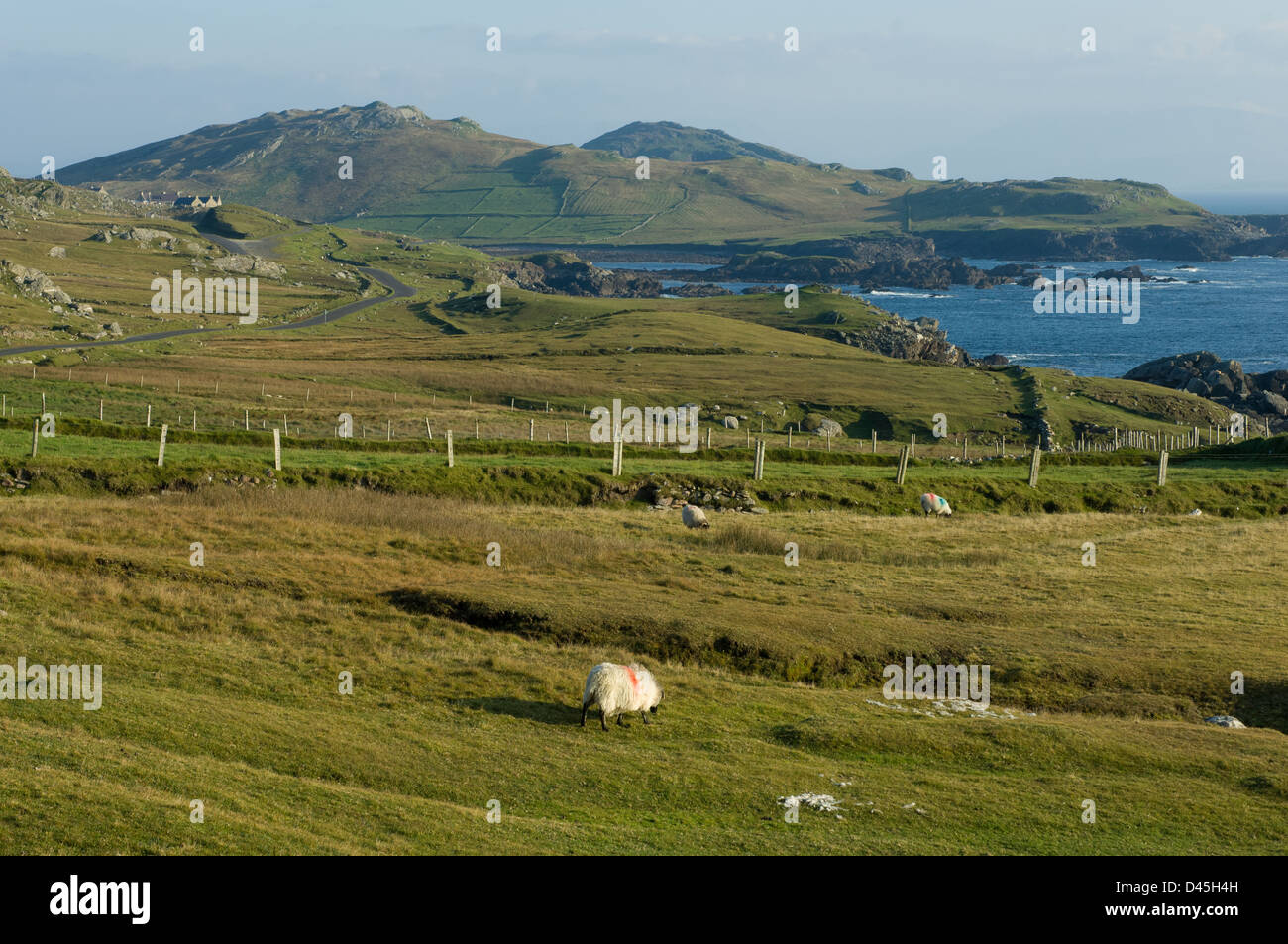 Sheep on top of remnants of stone age fortification on top of cliffs on the rugged coastline of Achill Island, Westport, - Stock Image