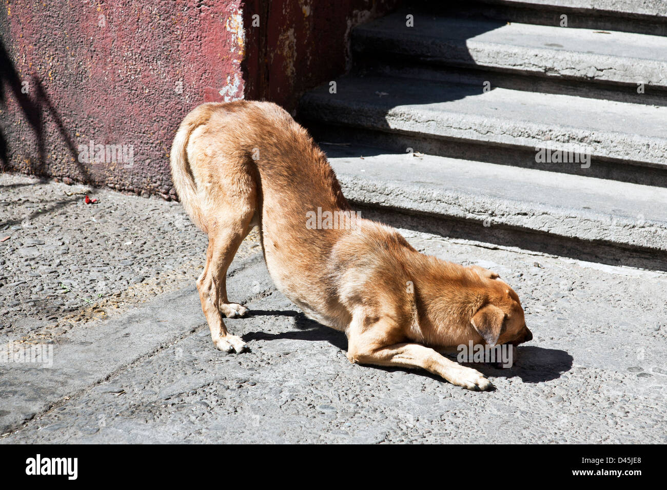 gaunt young stray dog with visible backbone & no collar worries delicious donated bone outside La Merced market - Stock Image