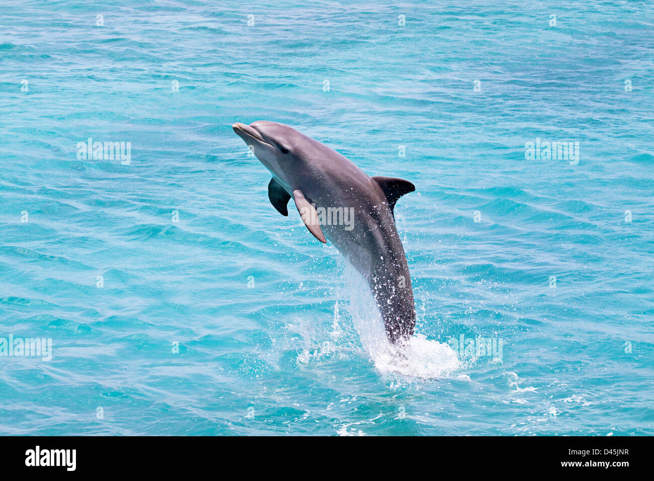 Atlantic Bottlenose Dolphin, Tursiops truncatus, leaps from the ocean off Curacao, Netherlands Antilles, Caribbean. - Stock Image