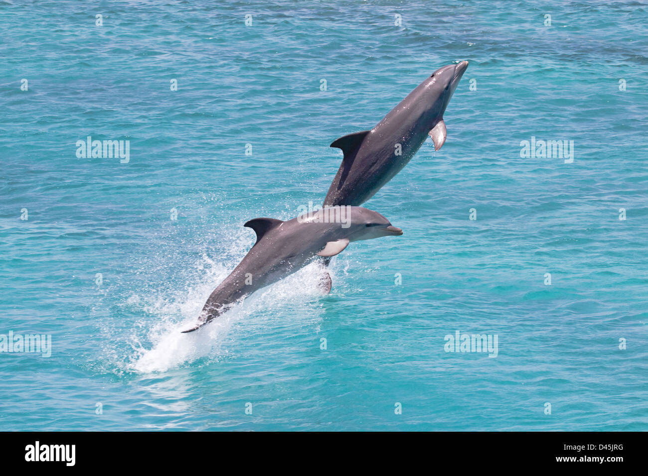 Atlantic Bottlenose Dolphin, Tursiops truncatus, leap from the ocean off Curacao, Netherlands Antilles, Caribbean. - Stock Image
