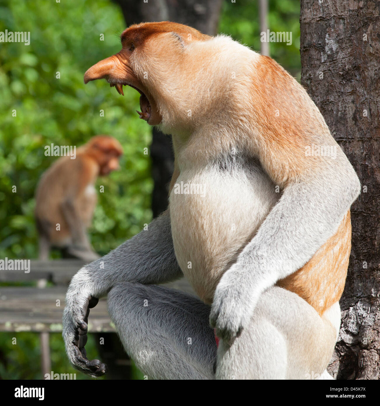 Proboscis Monkey dominant male (Nasalis larvatus) threat display - Stock Image