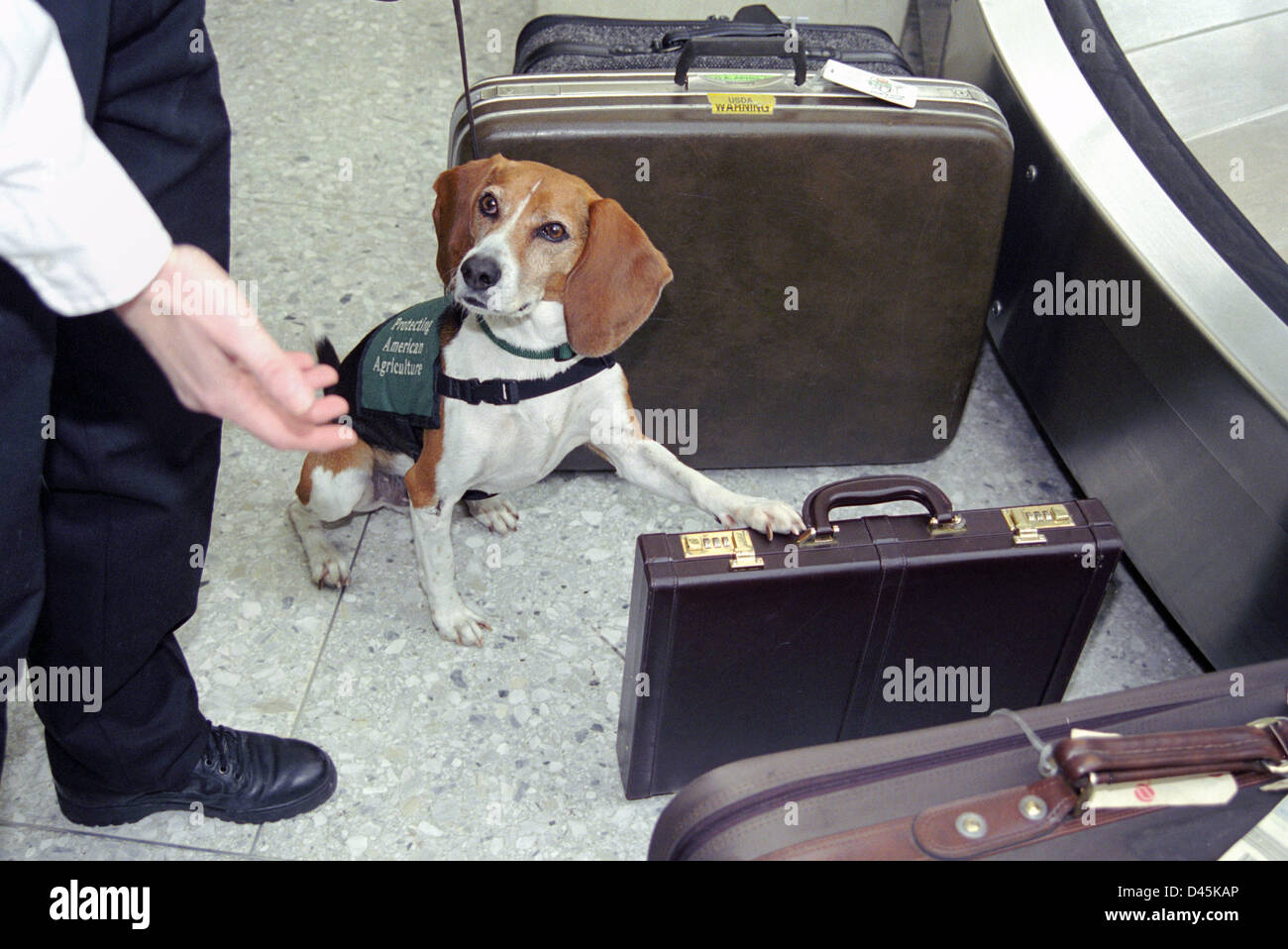 USDA sniffer beagle dog signals that a piece of luggage contains contraband at Washington Dulles International Airport - Stock Image