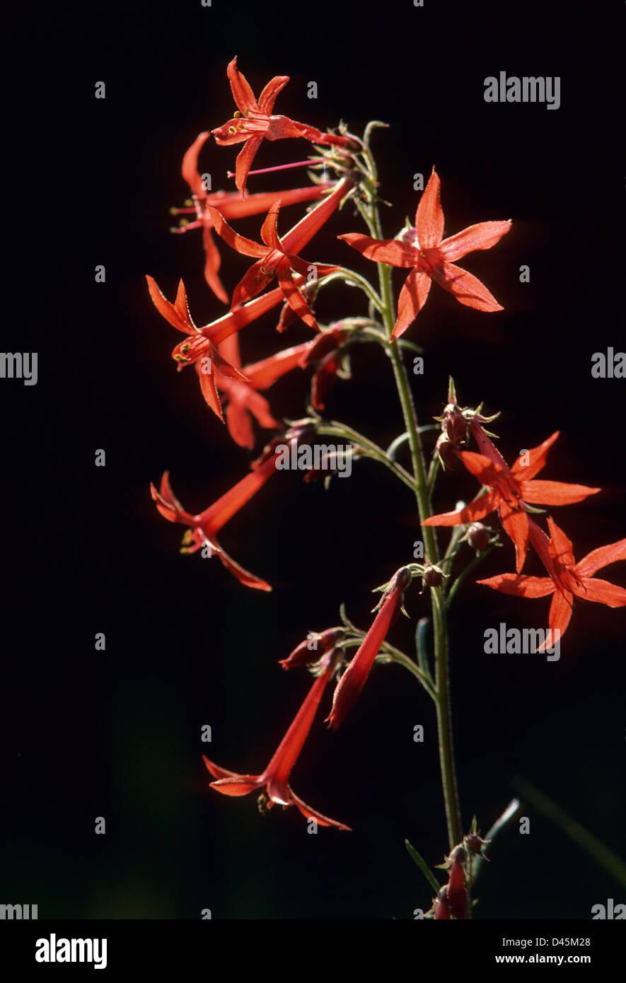Scarlet gilia or skyrocket, Willamette National Forest, Oregon - Stock Image