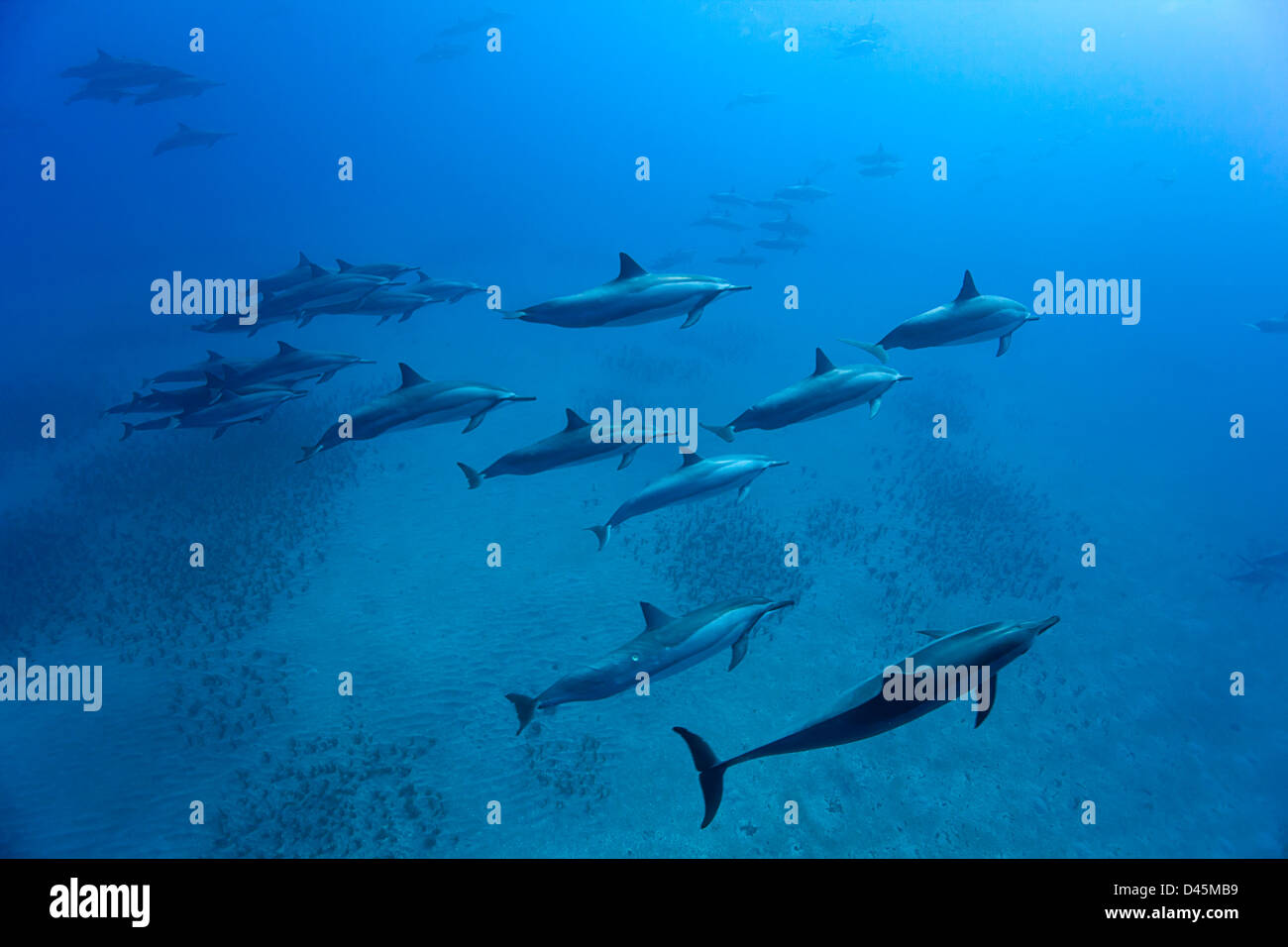 A group of spinner dolphin, Stenella longirostris, moving along the coastline of Lanai, Hawaii. - Stock Image