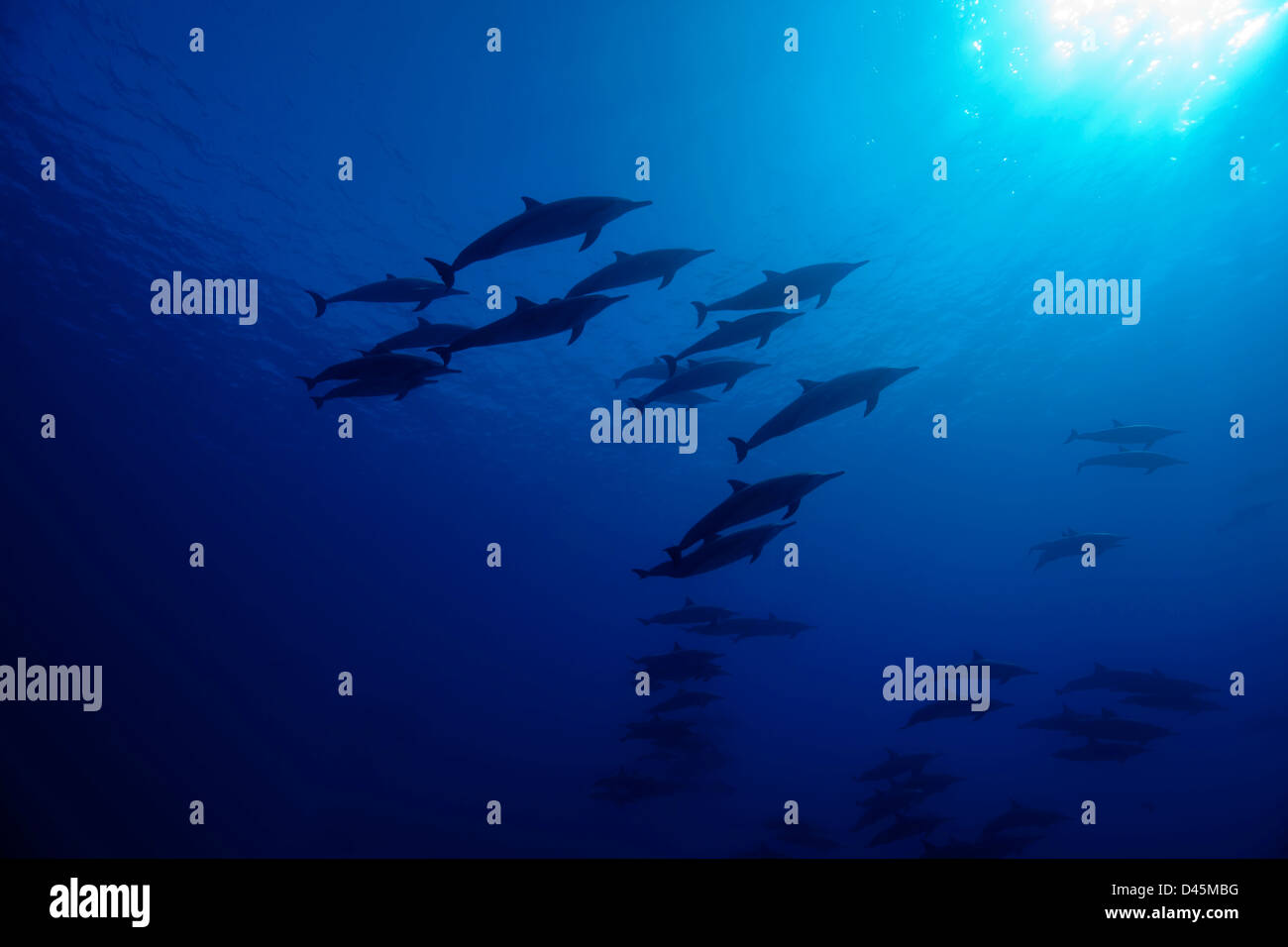 Spinner dolphin, Stenella longirostris, from below off the island of Lanai, Hawaii. - Stock Image