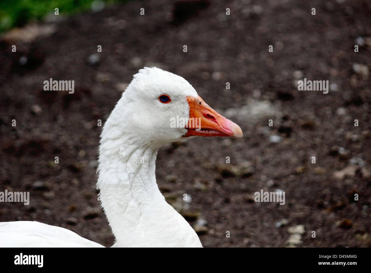 White duck profile. - Stock Image
