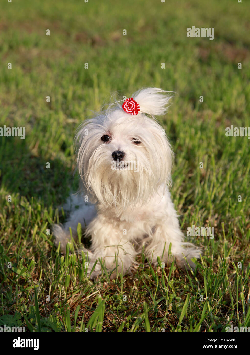 Small white hairy Maltese dog on green grass - Stock Image