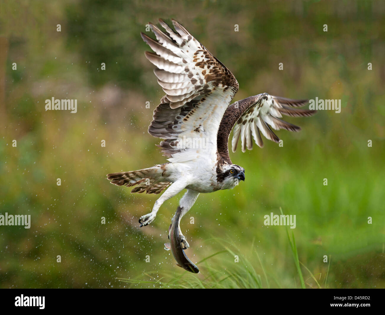 Osprey in flight with fish in talons - Stock Image