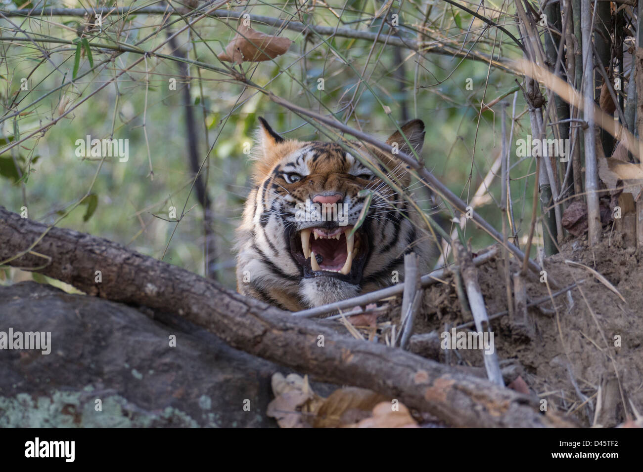 A snarling Wild Tiger from Bandhavgarh National Park, India - Stock Image
